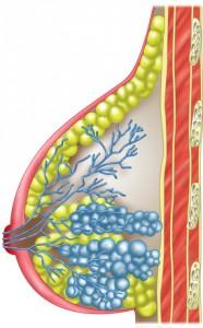 Weibliche Brustdrüsen dienen der Produktion von Muttermilch.